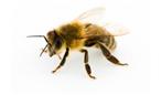 Could bee bacteria provide alternatives to antibiotics